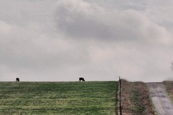 cows in pasture on savage road near gunter texas