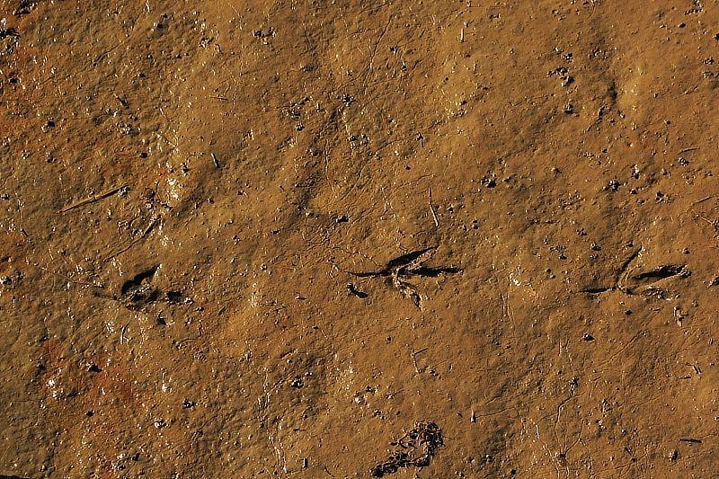 bird tracks thru mud