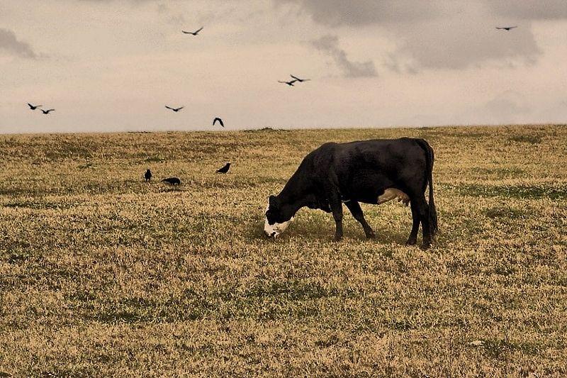 cow birds