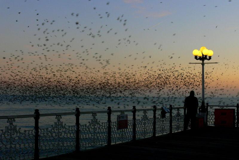 The Starlings at Brighton