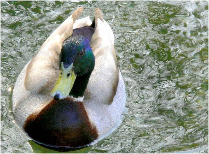 Duck!!!!!!!!!!!!!!