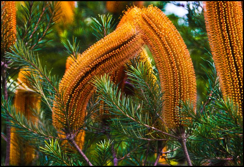 Banksia 2