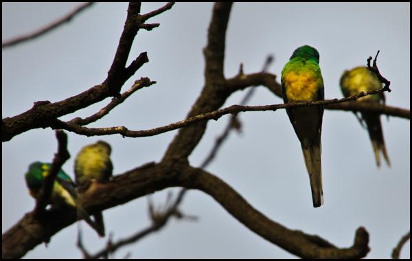 Parrots in Winter