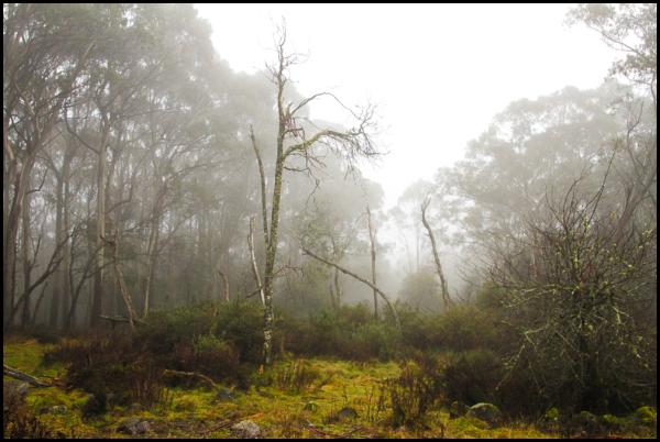 Eucalypts in the mist