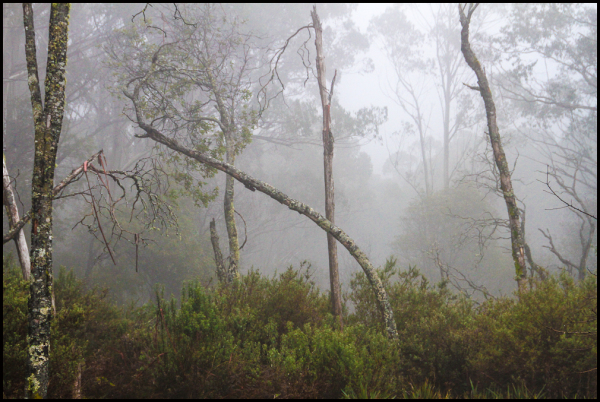 Eucalypts in the mist 2