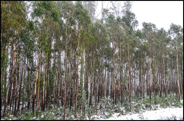 Snow on Eucalypts