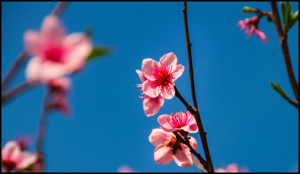 First Day of Spring: Cherry
