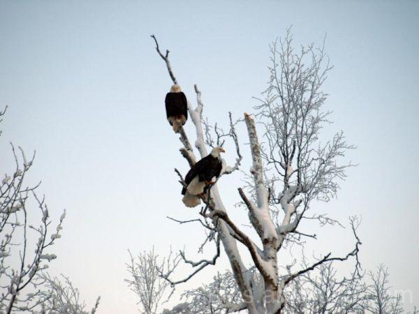 bald eagles in eagle river alaska