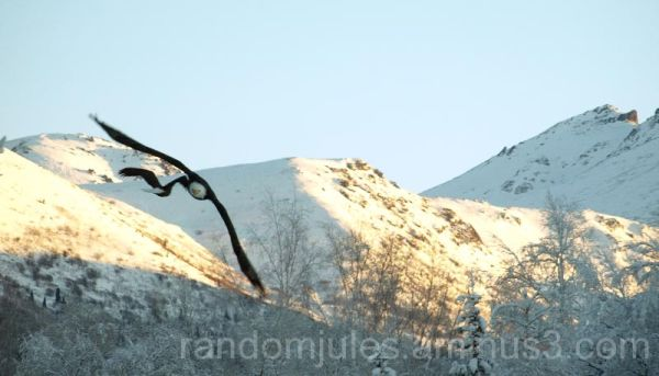 Bald Eagles flying past the Chugach mountains