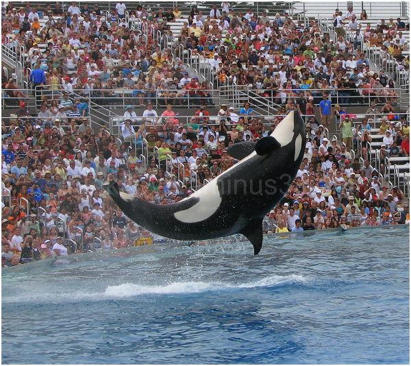 "The famous ""Shamu"" of San diego Sea world"