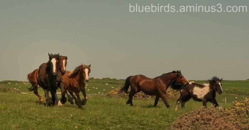 Rhossili - Wild Horses