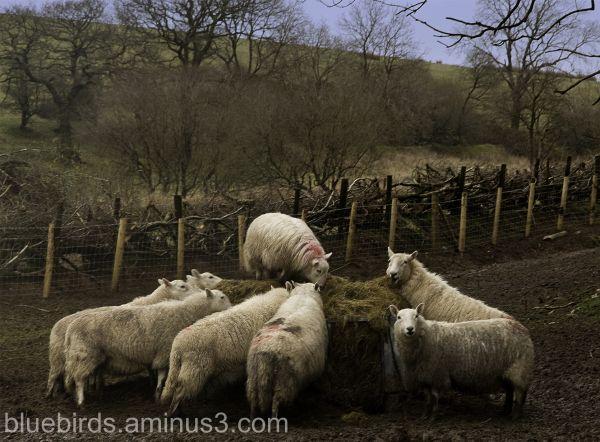 Sheep Freenzy