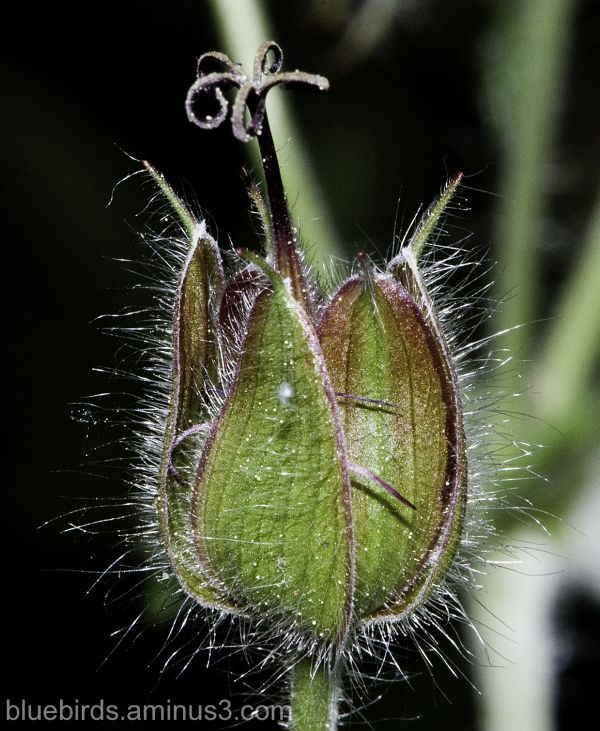 Geranium Seed Pod