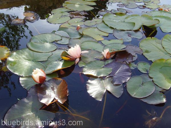 Irish Lilies