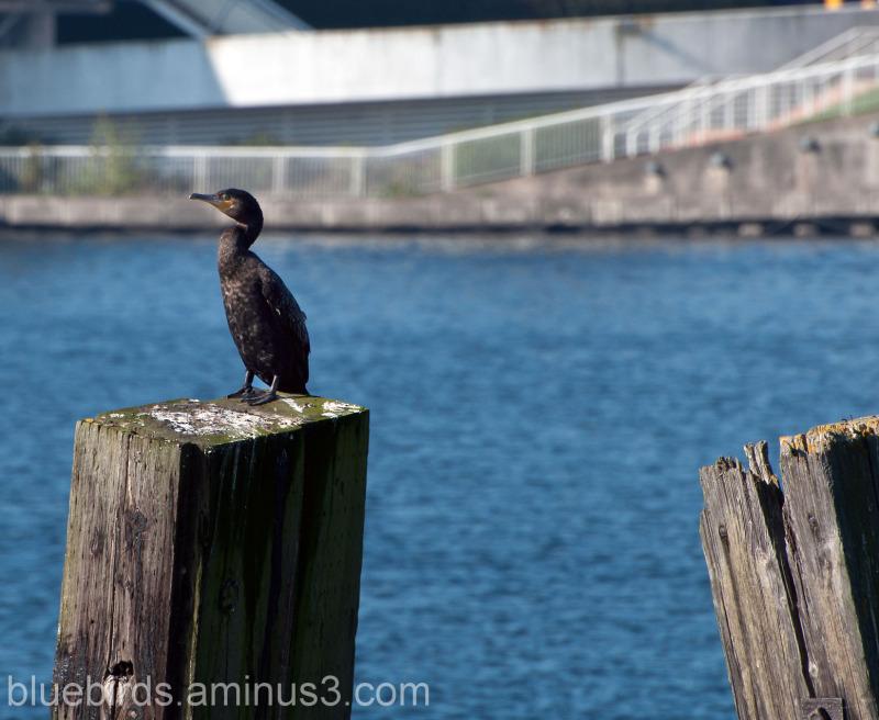 Cofmorant at Cardiff Bay