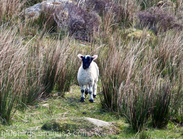 Comeragh Mountains Lamb