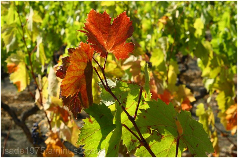 The leaves of the vineyard