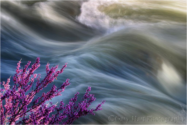 Redbud and the Merced River