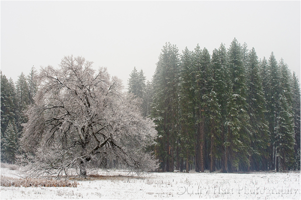 Snow falling in Yosemite's Cook's Meadow