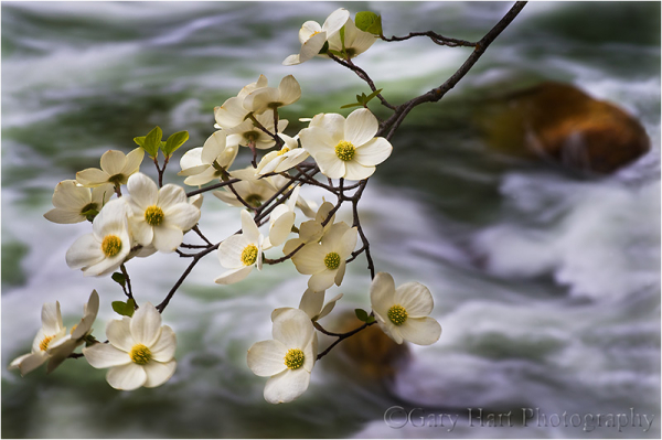 Dogwood blooms along the Merced River