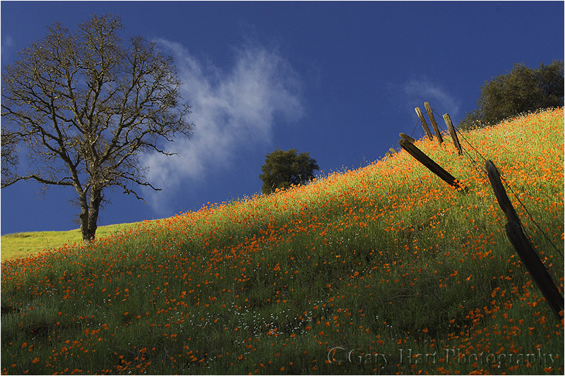 Poppy covered hillside on California's Highway 49