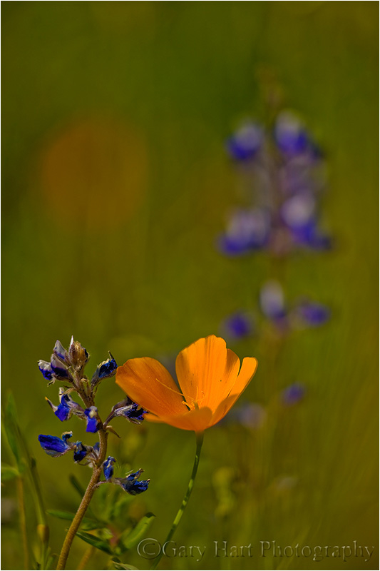 Poppy and lupine.
