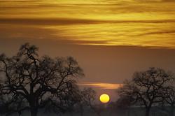 Oaks and setting sun