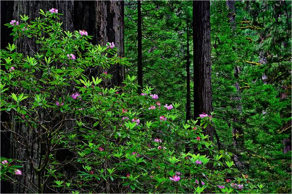 Blooming rhododendrons in Redwood National Park