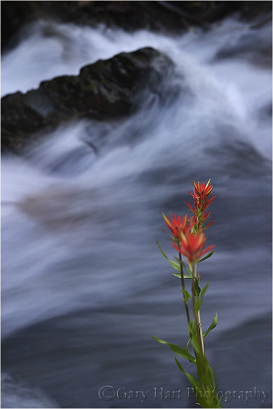 Paintbrush on Mill Creek in Lundy Canyon