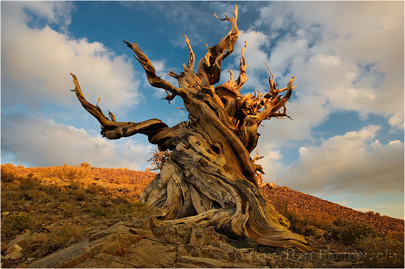 Ancient bristlecone basks in the day's last light.