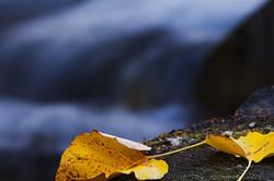 Two fallen leaves beside McGee Creek
