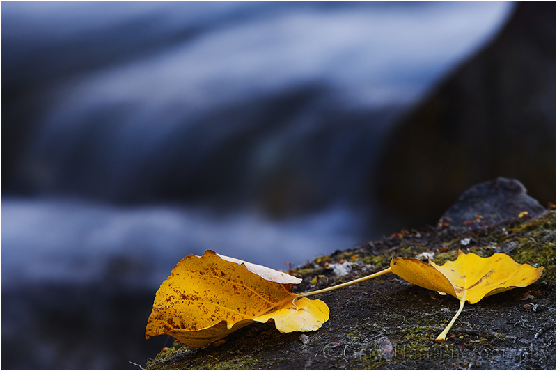 Two fallen leaves beside McGee Creek