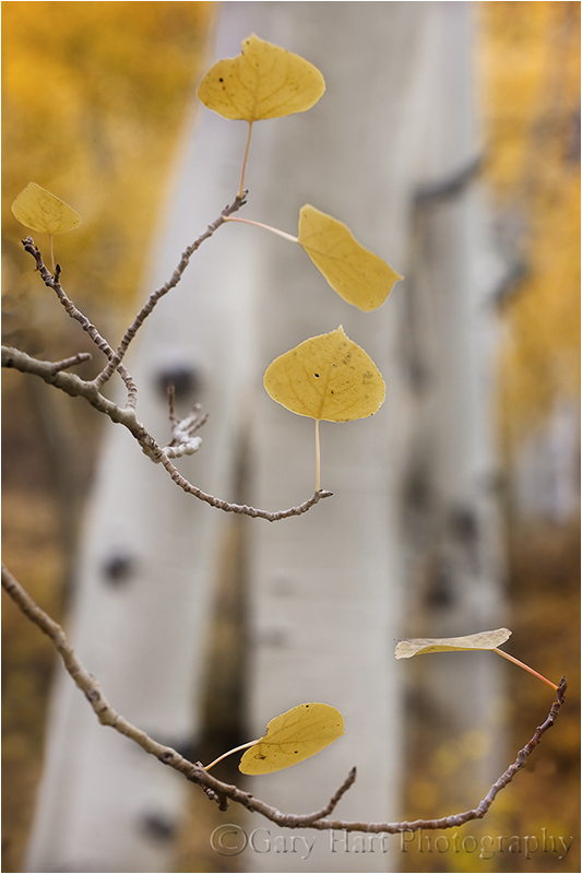 Grove of aspen in fall