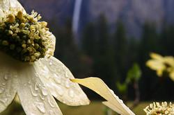 Dogwood and Bridalveil Fall, Yosemite