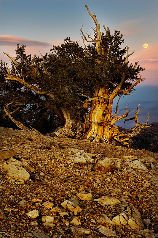 Moonrise above bristlecone pine.
