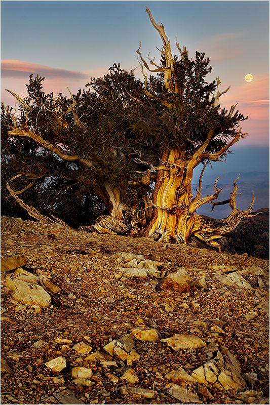 Bristlecone Moonrise, Patriarch  Grove, White Mtns