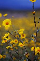 Death Valley wildflower explosion.