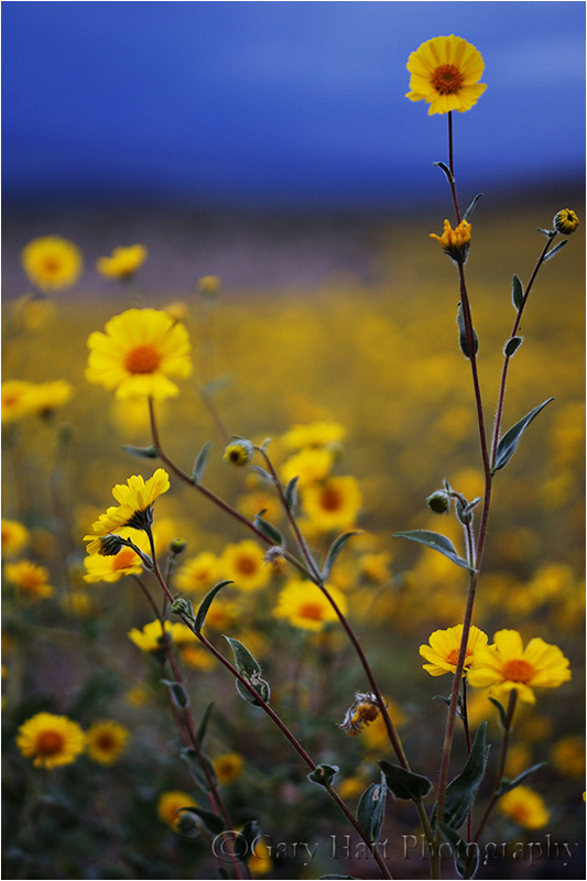 Death Valley wildflower explosion.