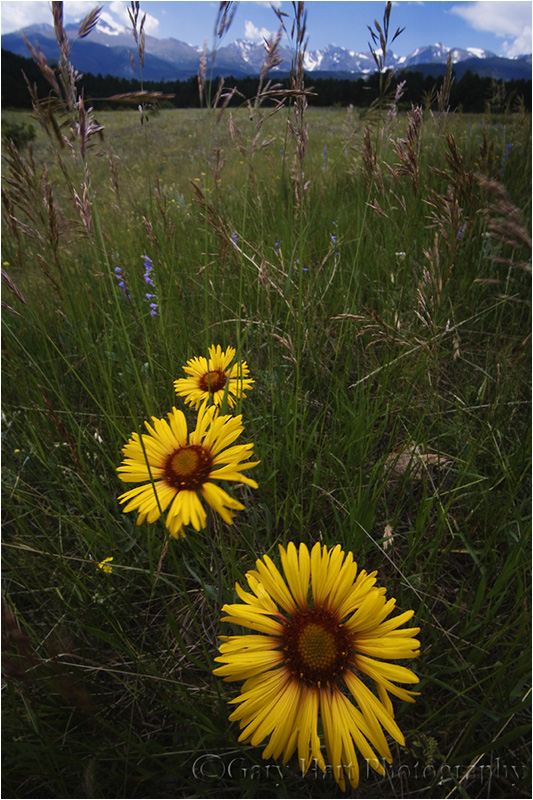 Wildflowers brighten a meadow in Rocky Mountain NP