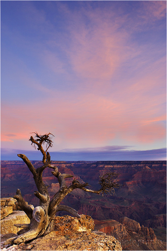 Tree perched on the Grand Canyon rim at sunrise.