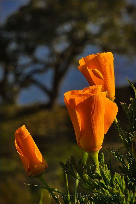 Poppies on a Big Sur Hillside