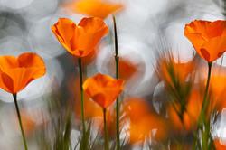 Sunlight illuminates poppies and sparkling creek