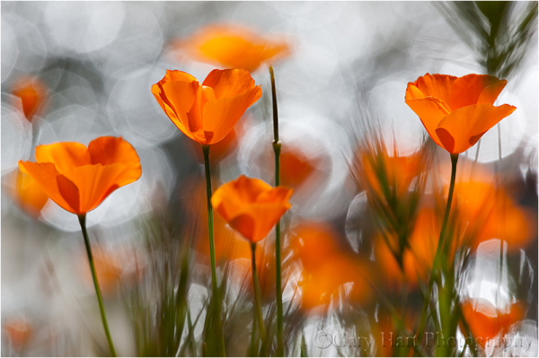 Sunlight illuminates poppies and sparkling creek