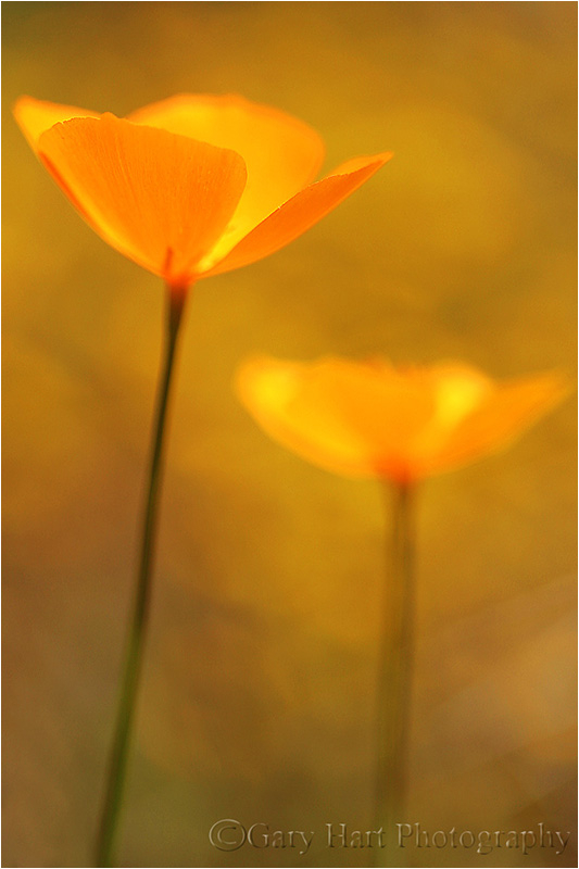 Champagne Glass Poppies