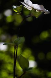 Sunlight on dogwood