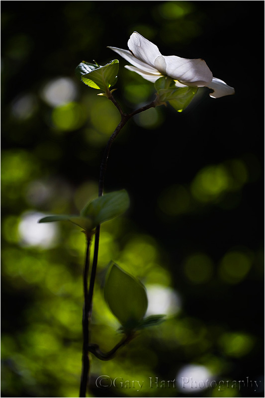 Sunlight on dogwood
