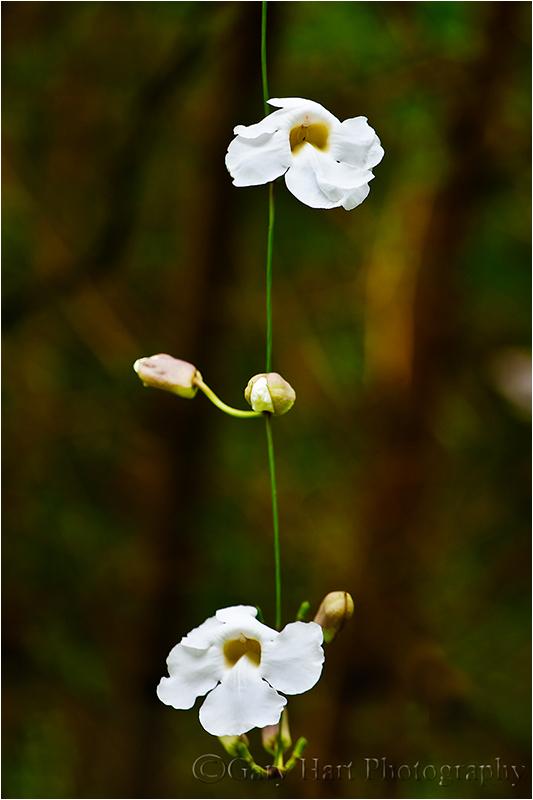 Dangling tropical blooms in a Hawaiian jungle