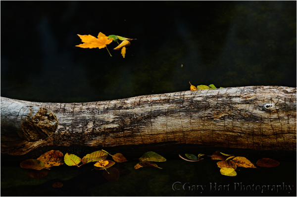 Fall leaves on the the Merced River, Yosemite
