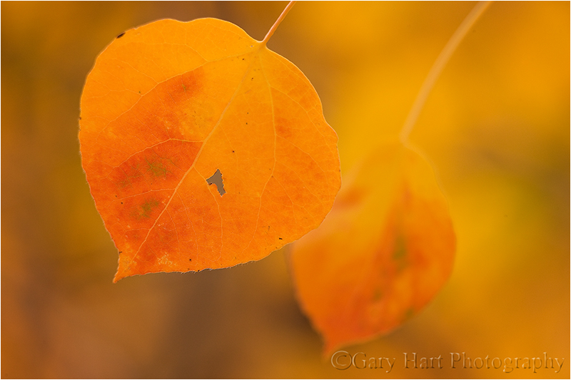 Aspen leaves, Bishop Creek Canyon, Eastern Sierra