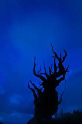 Ancient bristlecone pine night silhouette